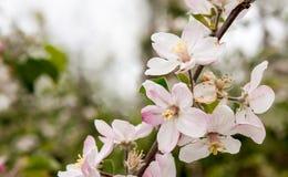 Flores de árvores de fruto foto de stock