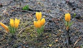 Flores de açafrões amarelos Imagem de Stock Royalty Free