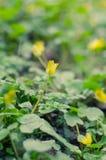 Flores de açafrões amarelos na mola adiantada Fotografia de Stock Royalty Free