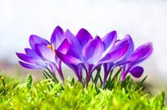 Flores de açafrões azuis em um dia de mola ensolarado fotografia de stock royalty free