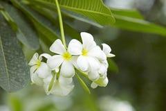 Flores de Acutifolia del Plumeria Imagen de archivo