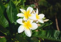 Flores de Acutifolia del Plumeria Imagen de archivo libre de regalías