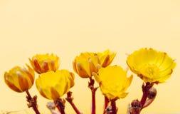 Flores de Adonis Fotografía de archivo