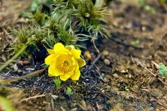 Flores de Adonis Foto de archivo libre de regalías