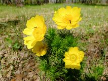 Flores de Adonis con los insectos en el prado Foto de archivo libre de regalías