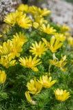 Flores de Adonis en primavera Foto de archivo