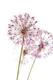 Flores de alguns cebolinhos imagem de stock
