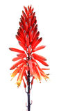 Flores de Alovera Fotografía de archivo libre de regalías