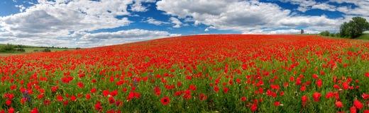 Flores de amapolas rojas Paisaje del verano con las amapolas rojas Panorama fotografía de archivo