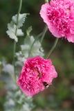 Flores de amapolas rosadas dobles inusuales en el jardín, de abejas y de abejorros que recolectan la no-estrella Imágenes de archivo libres de regalías