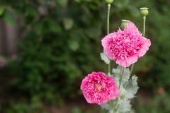 Flores de amapolas rosadas dobles inusuales en el jardín, de abejas y de abejorros que recolectan la no-estrella Fotografía de archivo libre de regalías