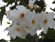 Flores de Anacua, do nordeste mexicano fotografia de stock royalty free