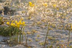 Flores de Ananuca no deserto de Atacama, o Chile Imagens de Stock