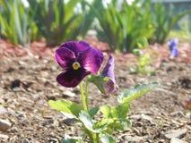 ¡Flores de Ancolie en el jardín! foto de archivo