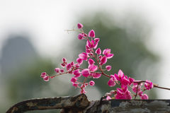 Flores de Antigon na cerca de aço velha Imagem de Stock