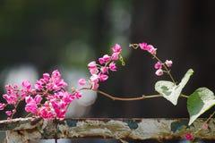 Flores de Antigon na cerca de aço velha Fotos de Stock Royalty Free