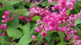 Flores de Antigonon Leptopus metrajes