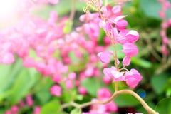 Flores de Antigonon Leptopus Foto de archivo libre de regalías