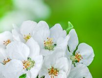 Flores de Apple Fotos de Stock Royalty Free