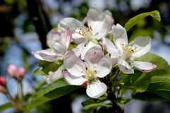 Flores de Apple fotografia de stock royalty free