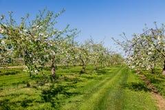 Flores de Apple Imagem de Stock