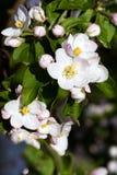 Flores de Apple Imagen de archivo