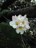 Flores de Apple Imagenes de archivo
