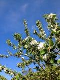 Flores de Apple Imágenes de archivo libres de regalías