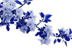 Flores de Apple coloreados en tonalidades azules Imagenes de archivo