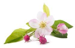 Flores de Apple con los brotes Imágenes de archivo libres de regalías