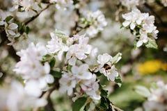 Flores de Apple con una abeja en la primavera Fotografía de archivo