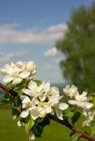 Flores de Apple contra el cielo Fotos de archivo