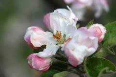 Flores de Apple dañados por helada de la mañana Imágenes de archivo libres de regalías