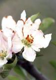 Flores de Apple dañados por helada de la mañana Imagenes de archivo