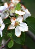 Flores de Apple dañados por helada de la mañana Fotografía de archivo