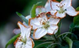 Flores de Apple dañados por helada de la mañana Imagen de archivo