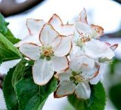 Flores de Apple dañados por helada de la mañana Fotos de archivo libres de regalías