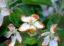 Flores de Apple dañados por helada de la mañana Fotos de archivo