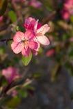 Flores de Apple de cangrejo Fotografía de archivo