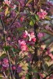 Flores de Apple de cangrejo Foto de archivo