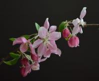 Flores de Apple de caranguejo contra um fundo preto Fotografia de Stock Royalty Free