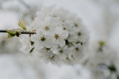 Flores de Apple en el jardín Imagen de archivo