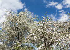 Flores de Apple en fondo del cielo azul Fotografía de archivo