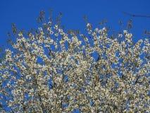 Flores de Apple en la floración con el cielo azul Fotos de archivo libres de regalías
