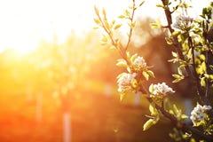 Flores de Apple en la primavera Imagen suave de una manzana floreciente tr Foto de archivo