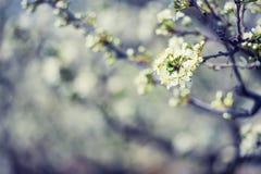 Flores de Apple en la primavera Imagen suave de una manzana floreciente tr Fotografía de archivo libre de regalías