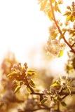Flores de Apple en la primavera Imagen suave de una manzana floreciente tr Foto de archivo libre de regalías