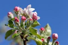 Flores de Apple en primavera Imagenes de archivo
