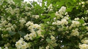 Flores de Apple en primavera en el fondo blanco Fondo del flor de la primavera - frontera floral abstracta de las hojas del verde almacen de metraje de vídeo