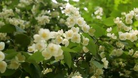 Flores de Apple en primavera en el fondo blanco Fondo del flor de la primavera - frontera floral abstracta de las hojas del verde almacen de video